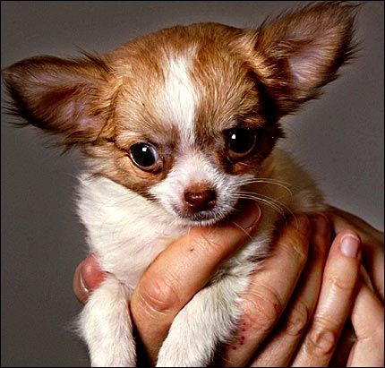 POPULÆR: Chihuahua-hunden er meget populær. Men illegal smugling av hunden til Norge kan ha fatale konsekvenser, melder Mattilsynet. Foto: Scanpix