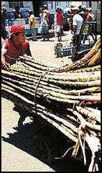 SUKKER-BY: Slavene ble hentet over fra Afrika for å kappe sukkerrør. Fremdeles triller dagens «slaver» sukker på markedsplassen i Salvador. Foto: Dag Fonbæk.