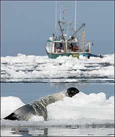 JAKTTID: Grønlandsselen ligger på et isflak i St. Lawrence-bukta samme dag som seljakten starter i Canada. Rundt 30 båter var i aksjon første dag. Foto: REUTERS