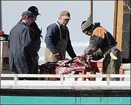 FLÅS: Totalt skal 325.000 av Canadas anslagsvis seks millioner seler slaktes og flås under årets jakt. Her er flåingen i gang på en av fangstskutene. Foto: AP