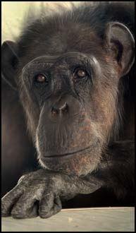 SJIMPANSEN: Våre forfedre skal ha skilt lag med sjimpansen langt senere enn tidligere antatt, ifølge ny forskning. Foto: Paul Paiewonsky.