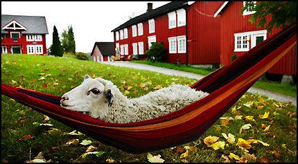 BÆÆÆÆRE LEKKERT: På Berg gård steller man godt med råvarene. Gården er et av høydepunktene på Den Gyldne Omvei på Inderøy. Her ales, slaktes og etes lam, frilandsgris og honning så det er en fryd. Foto: Magnar Kirknes