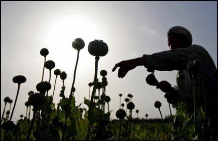 HJELPETRENGENDE: En bonde i arbeid på en åker med opiumsvalmuer i Balkh-provinsen, 50 mil nord for Kabul. NATO-generalen James Jones mener strategien for å bekjempe narkotikaproduksjonen i landet har vært mislykket. Foto: REUTERS