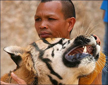 SPENNENDE: Reiser du til Bangkok for å se på tigre eller munker sørger du samtidig for at over tre tonn CO2 slippes ut i lufta. Foto: EPA