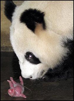 BABYLYKKE: Pandaen Jiaozi snuser på den ene av de to ungene som hun fødte på et oppdrettssenter for pandaer i Sichuan-provinsen i Kina mandag. Til sammen fire pandaunger ble født på samme dag på senteret. Foto: REUTERS/China Daily/SCANPIX