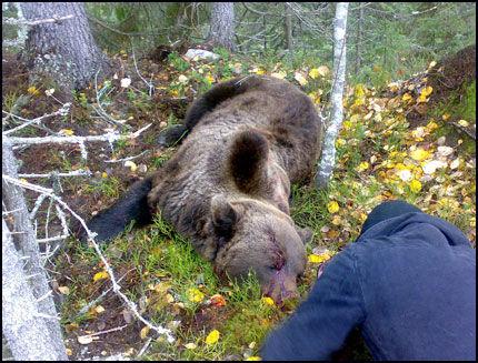 SKUTT: Her ligger bjørnen som tok livet av en 61 år gammel jeger i Sverige for en uke siden. Foto: Anders Sooth Knutsen