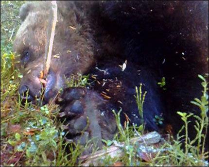 SKUTT OG DREPT: Her ligger bjørnen etter at den ble skutt mandag formiddag. Foto: Geir Olsen