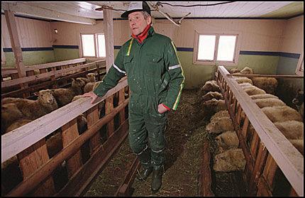 RYSTET: Skilegenden og sauebonden Gjermund Eggen opplever hvert år at mange av dyrene hans tas av bjørn og ulv. Foto: VG, Mattis Sandblad