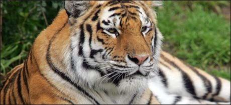 DØDSTIGER: Tigeren Tatiana drepte en person og skadet to da den rømte fra buret sitt i en zoo i San Francisco. I fjor drepte den samme tigeren en annen person. Foto: AP
