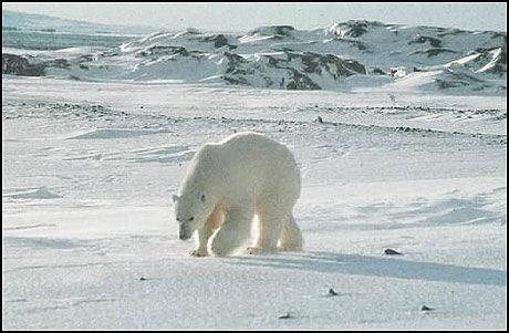 ISBJØRN: Enkelte av VG Netts lesere har sett flere isbjørner på Svalbard. Foto: Scanpix
