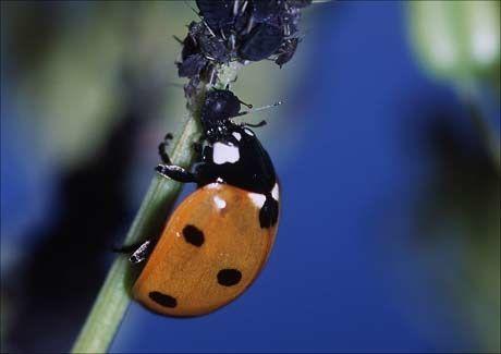MARIHØNE: Dette er en syvprikket utgave (Coccinella septempunktata). Foto: SCANPIX