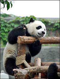 Panda-porno gir OL-babyer