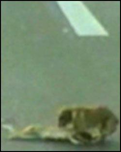 HELT: Den påkjørte kameraten døde, men det gjør ikke heltedåden til den hjemløse chilenske hunden noe mindre. Foto: AP