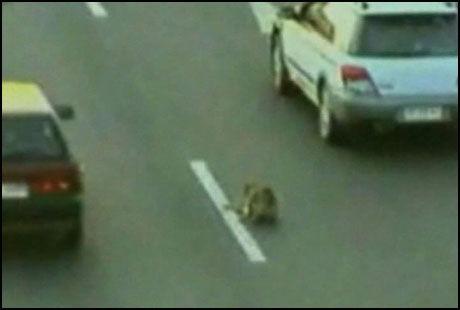RISIKERTE LIVET: Hunden løp midt ut i trafikken for å redde sin påkjørte kamerat. Foto: AP