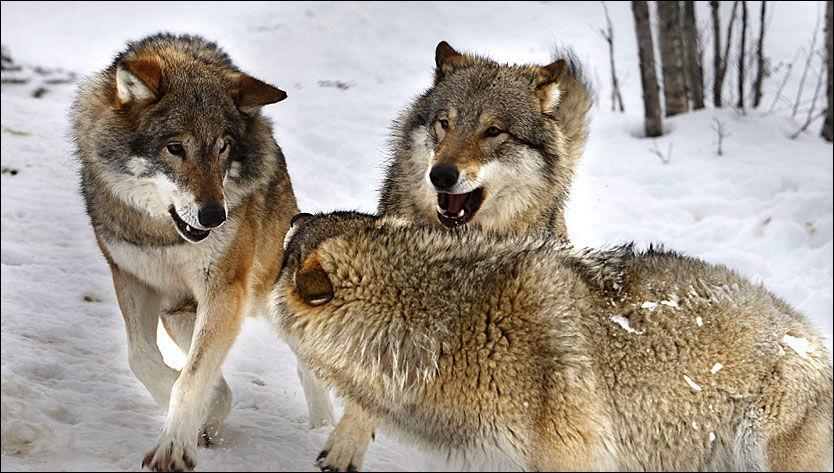 SNILLERE: Ulven drepte færre lam i 2008. Foto: Jan Petter Lynau
