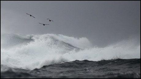 MEKTIG: Moskstraumen er en av verdens sterkeste havstrømmer, men sjøfuglene har ingen problemer med det. Foto: