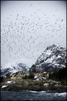 FUGLELIV: Måker, skarv, ørn og andre fugler har sitt eldorado her ute blant stupbratte fjell og rikt Lofothav. Foto: Bjørn Erik Rygg Lunde.