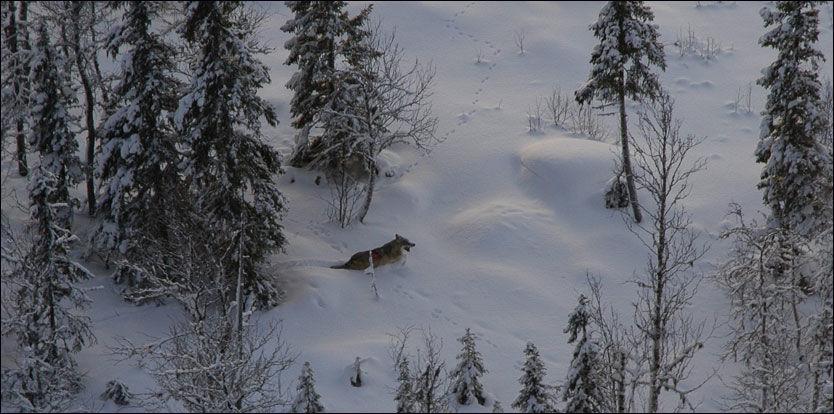 FORRIGE RUSSER: I 2005 kom denne ulven inn i Skandinavia fra Russland. Her blir han bedøvet og fotografert fra helikopter. Foto: Jon M. Arnemo