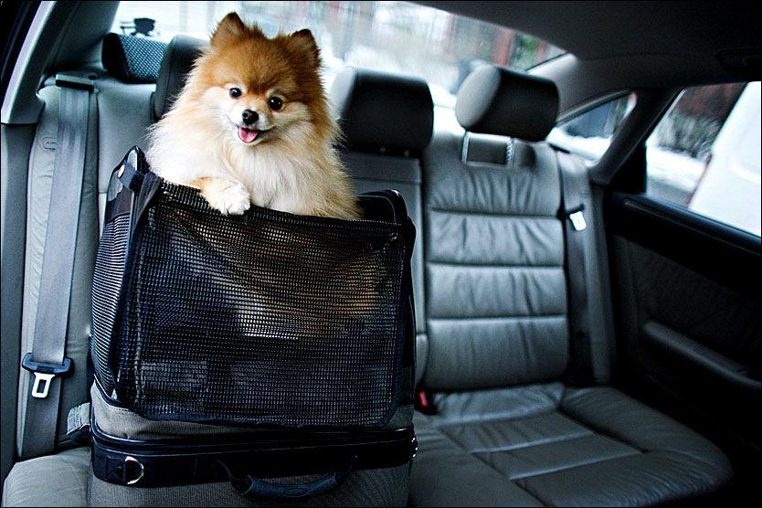 BIKKJA I BAKSETET: Det finnes også seter som kan plasseres i baksetet for mindre hunder. Denne er kollisjonssikret og sikrer kjøreturen for Armani (3). Foto: Marte Vike Arnesen