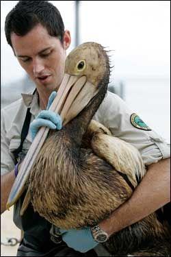 VASKET: En pelikan blir befridd for oljesølet som rammet kysten av Queensland i Australia. Foto: AP