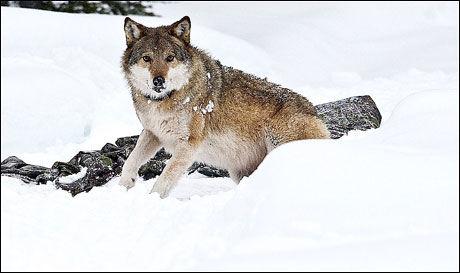 OMDISKUTERT: Norske bønder raser mot russisk ulvebestand i Norge, men advares mot å ta loven i egne hender. Her ulvetispa Olga. Foto: Geir Olsen, VG