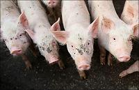 Norsvin: - Ikke smitt grisene