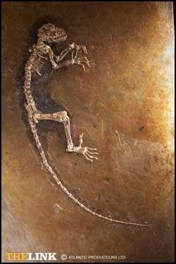 NORSK NAVN: Skjelettet Ida er 47 millioner år gammel. Hun er oppkalt etter den norske forskeren Jørn Hurums datter. Foto: Atlantic Productions