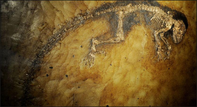 GAMMEL PIKE: Hun er 47 millioner år gammel og 60 cm. høy, inklusive hale. Ida er en verdenssensasjon på forskningsronten. Foto: AFP