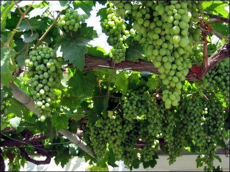 lage vin på druer