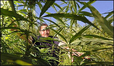 KAN BLI LOVLIG: Industriell hamp med svært lave nivåer av det narkotiske virkestoffet THC kan bli lovlig i Norge. Bildet viser planter frie for THC i Tyskland. Foto: EPA