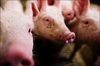 Tre nye svinebesetninger er smittet