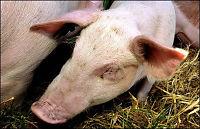 Tre nye gårder rammet av svineinfluensa