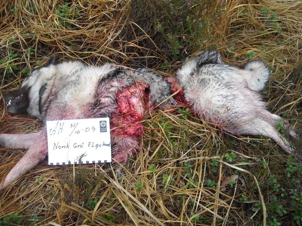 ELGHUND DREPT: Denne elghunden ble flerret i biter av en ulv i et populært turområde i Halden. Foto: Statens Naturoppsyn Foto: