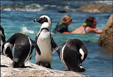 KJENT REISEMÅL: Pingvinene på Boulder's Beach utenfor Cape Town. Foto: AFP