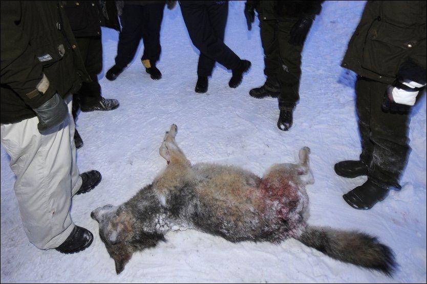 DREPT: En ulv for mye ble skutt under ulvejakta i Sverige. Denne ulven ble skutt utenfor Kristinehamn tirsdag. Foto: AFP