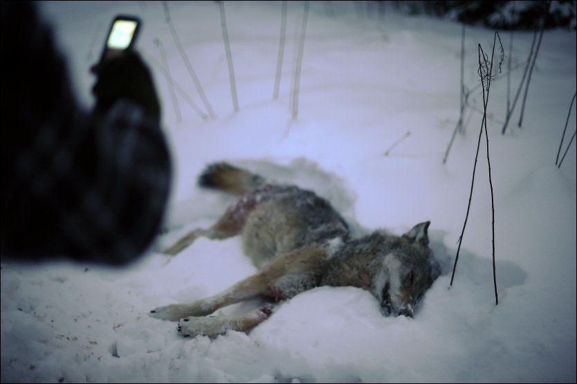 SKUTT: 22 ulver ble felt i løpet av formiddagen i går i Sverige. Foto: AFP