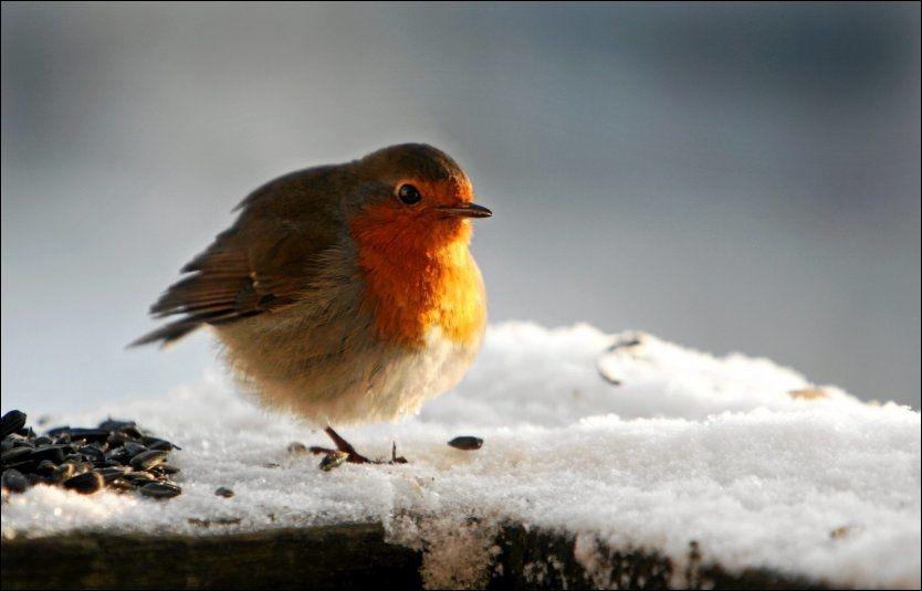 TOTALT AVHENGIG AV FORING: Rødstrupen ser ut til å klare seg bra denne vinteren. Men det er bare fordi folk passer på å mate dem. Foto: Aftenposten