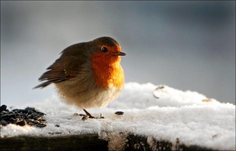 mate fugler om vinteren