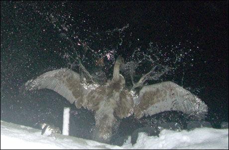MÅTTE REDDES: Denne svaneungen hadde rotet seg til Nydalen i Oslo, og ble reddet av Fuglehjelpen mandag. Svanen ble sluppet fri ved Aker Brygge. Foto: Fuglehjelpen