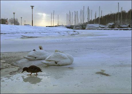 TØFFE TIDER: En del svaner og ender har vanskelige overlevelsesforhold inne i byene nå. Foto: Scanpix