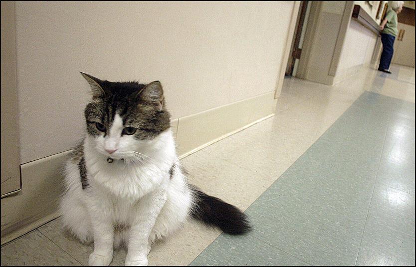 SPESIELL KATT: Katten Oscar skal angivelig ha en egen evne til å merke hvilke pasienter på aldershjemmet han bor på som er i ferd med å dø. Foto: AP