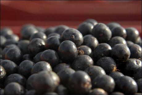 Acai er en steinfrukt som vokser vilt i Amazonas i Brasil, og som ifølge nettstedet frukt.no er blitt brukt av indianere i generasjoner på grunn av sitt høye næringsinnhold. Acaibæret ser ut som et blåbær, men smaker som en blanding av bjørnebær og kakao. Foto: Reuters