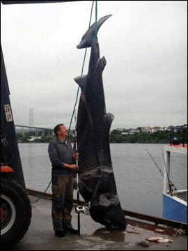 STOR FANGST: Hobbyfisker Per Jensen ved siden av den muligens største håkjerringen som er fanget på stang i hele verden. Foto: Jan Erik Skarholm