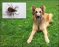 Hunden Keso (3) fikk 63 flått på én time