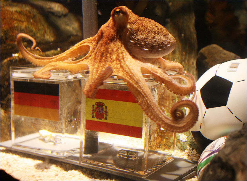 SPÅR: Blekkspruten Paul spår tysk nederlag på bildet. Han har blitt et VM-fenomen og tiltrekker seg internasjonal oppmerksomhet. Foto: AFP