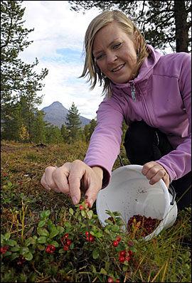 FINGERNEM: Tiril Friid Fladeby høster aldri tyttebær med bærplukker. - Det latinske navnet betyr «vin fra fjellet», og den bør plukkes som druer, mener Fladeby. Foto: Terje Mortensen