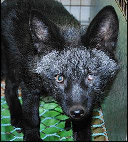 SKADET ØYE: Bildet er tatt på en norsk pelsfarm i 2010. Reven har skader på øyet. Foto: Nettverk for dyrs frihet