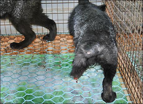 ØDELAGT BEIN: Dette bildet er tatt på en norsk pelsfarm i 2010. Revevalpen har et avspist bein som er blodig. Foto: Nettverk for dyrs frihet Foto: