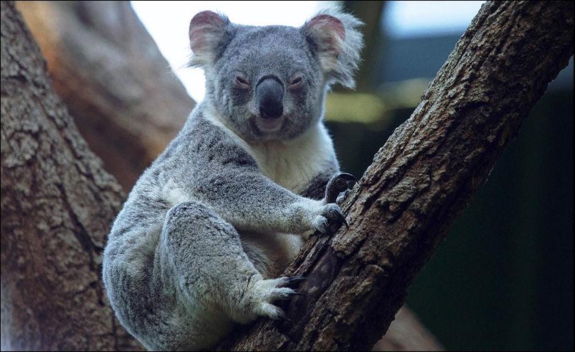 PÅ BY'N: Det var en koalabjørn av denne typen som nylig skal ha tatt turen inn på en bar i Australia. Foto: Terje Bringedal