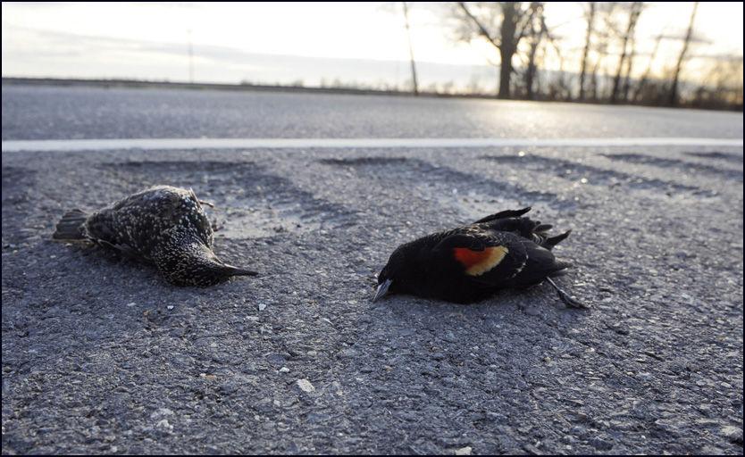 TO FUGLEARTER: En stær og en rødvingetrupial ligger døde langs veien i Pointe Coupee i Lousiana. Foto: AP Photo/The Advocate, Liz Condo